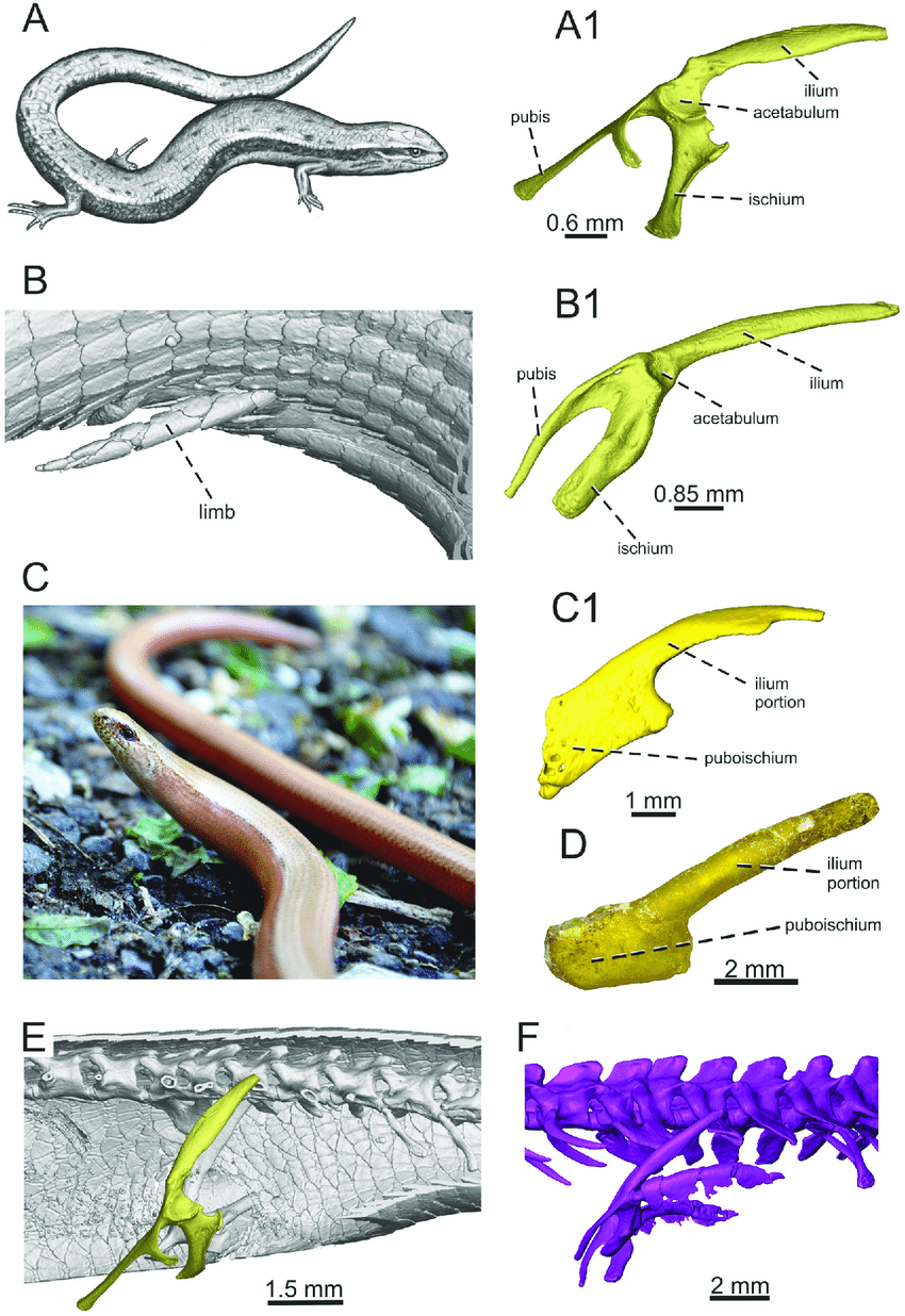 medium resolution of the living representatives of lizards with different degree of limb download scientific diagram