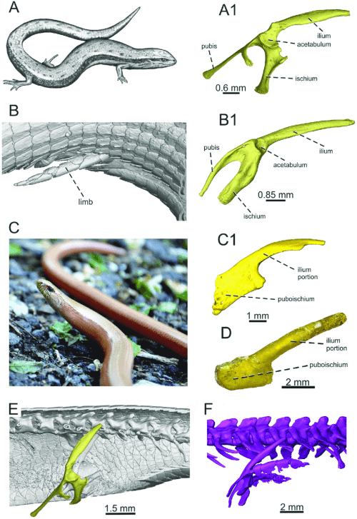 small resolution of the living representatives of lizards with different degree of limb download scientific diagram