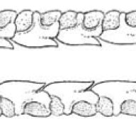 Two functional series of lower jaw of a Spiny dogfish
