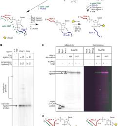 creating an internal fluorescent label a general reaction scheme for download scientific diagram [ 850 x 1131 Pixel ]