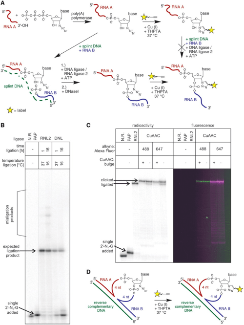 small resolution of creating an internal fluorescent label a general reaction scheme for download scientific diagram