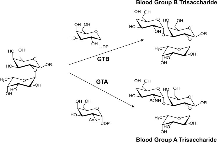Biosynthesis of blood group A and B antigens from the O(H