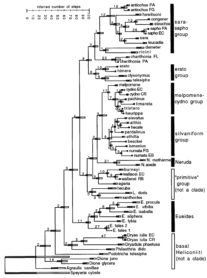 Phylogram for COI-COII and wingless data combined, the