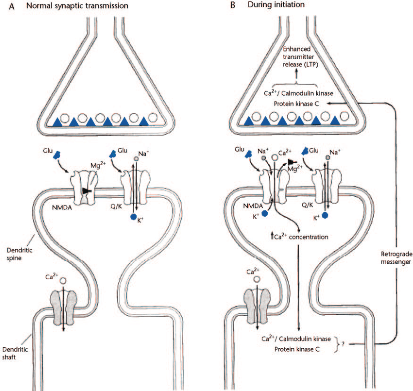Model for the induction of long-term potentiation