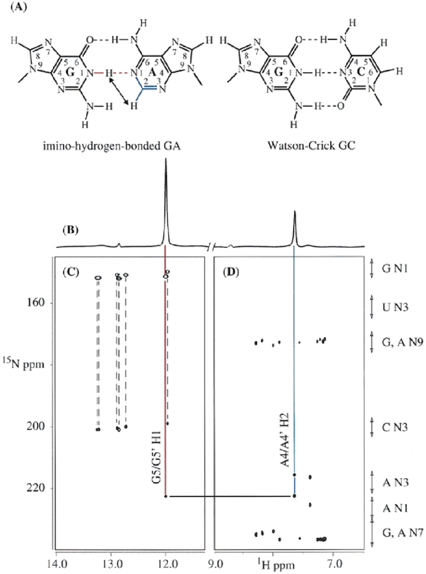 medium resolution of assignment of a 2h j nn coupling in hpga to a ga base pair with a