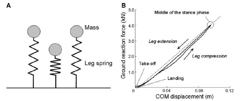 Diagram of the spring-mass model during vertical hopping