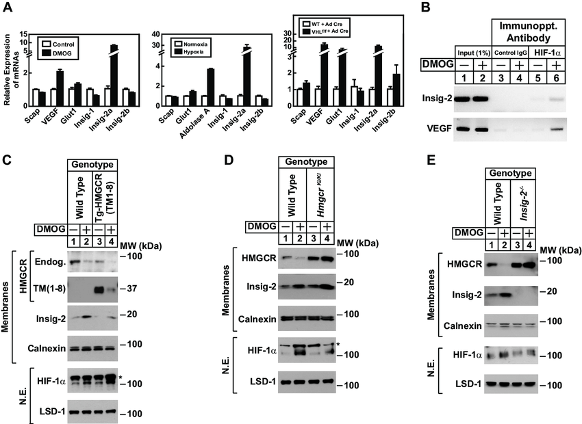 DMOG-induced expression of the Insig-2a transcript