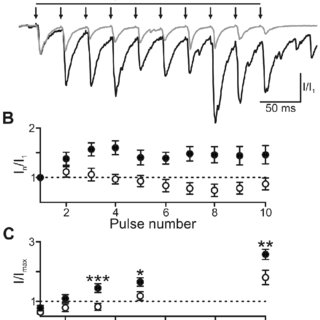 Inhibitory transmission is reduced in CA3 synapses. (a