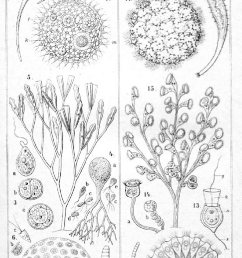 spherical coenobia of protists 6 halosphaera viridis 7 volvox globator  [ 797 x 1342 Pixel ]