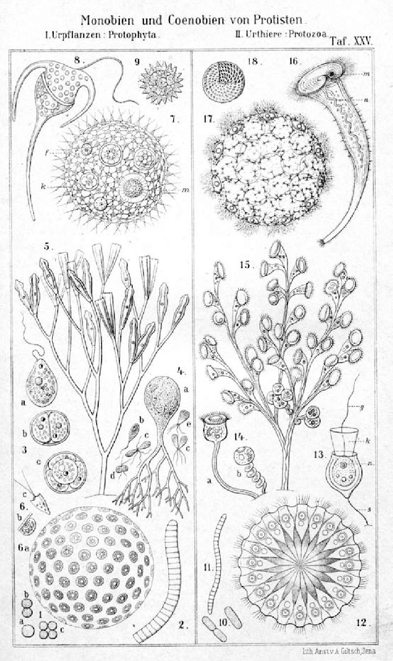 medium resolution of  spherical coenobia of protists 6 halosphaera viridis 7 volvox globator