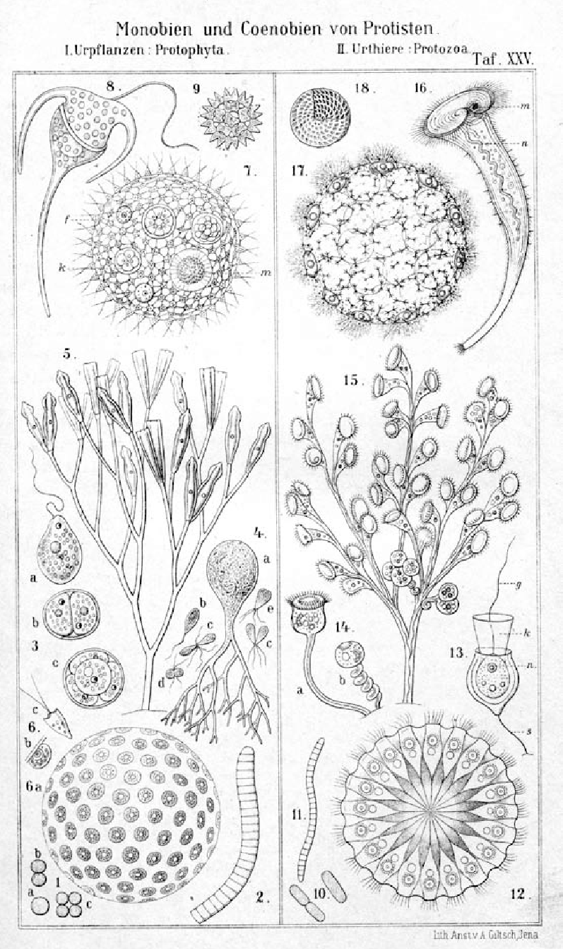 hight resolution of  spherical coenobia of protists 6 halosphaera viridis 7 volvox globator
