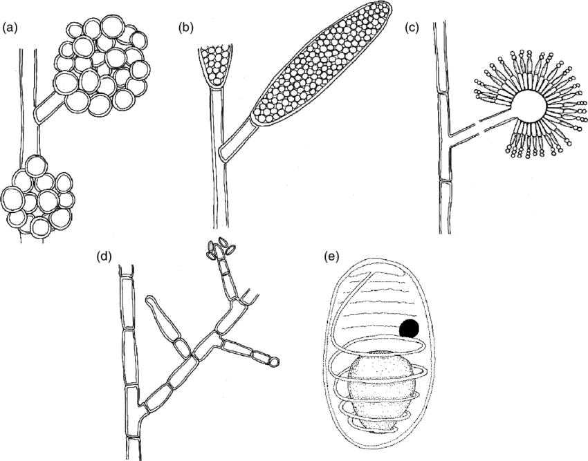 3 Representative drawings of fungi and fungal-like
