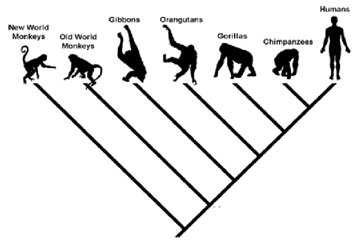 Cladogram depicting the phylogenetic relations among seven