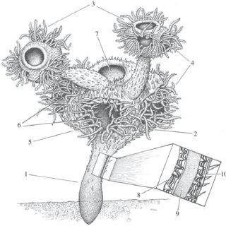 Reconstruction of the living Namacalathus. 1, stem; 2