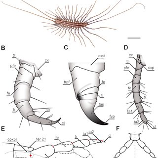 (PDF) The ultimate legs of Chilopoda (Myriapoda): A review