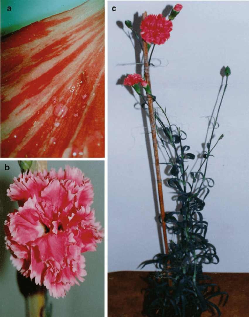 medium resolution of 2 genetically modifi ed carnation dianthus caryophyllus l a download scientific diagram
