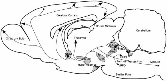 Sagittal scheme of the rat brain illustrating