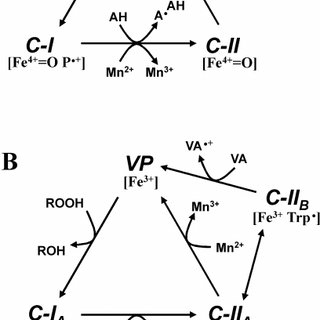 Schematic diagram of lignin degradation by basidiomycetes