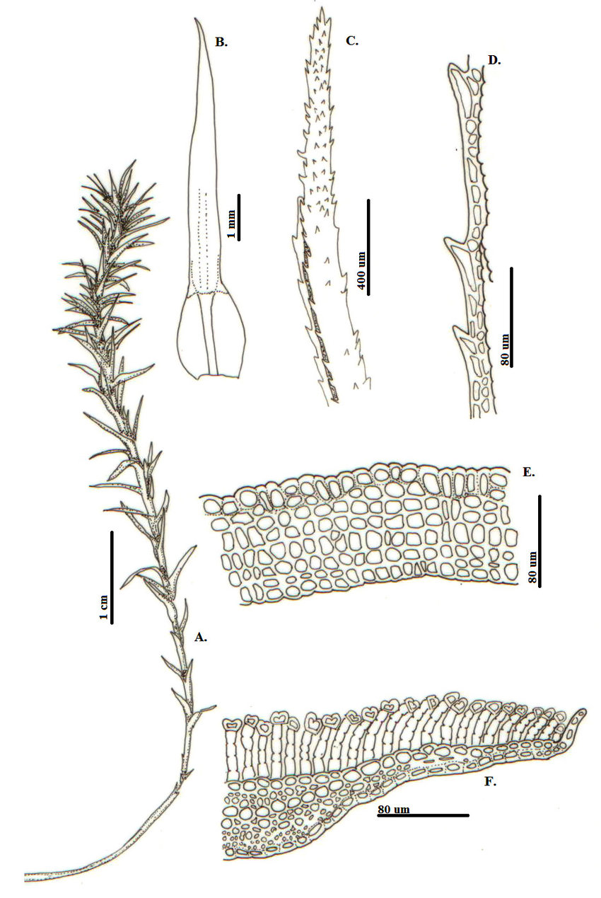 hight resolution of polytrichum commune hedw a h bito b f hoja b vista