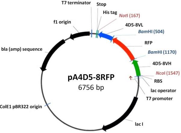 dna translation diagram ribosome