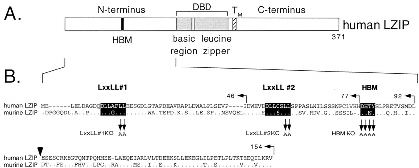 ( A ) Structure of human LZIP. The bZIP DNA-binding and