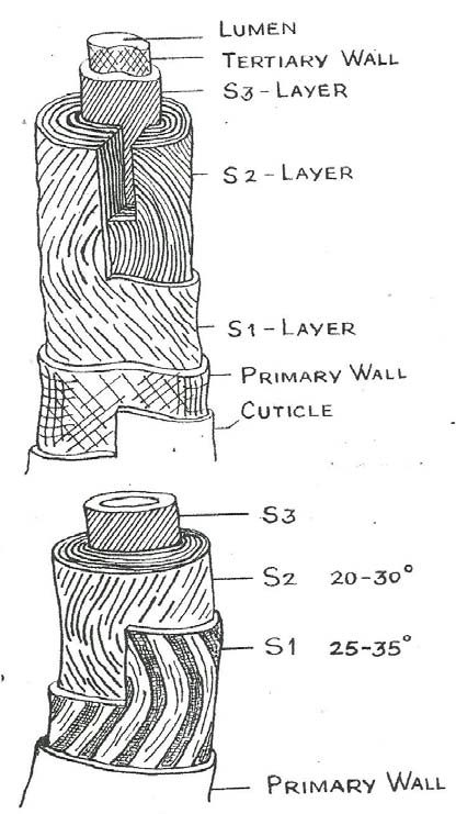 Schematic Diagram of the Spiral Structure of Cotton Fibre