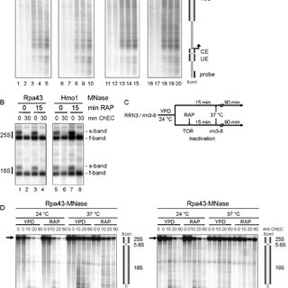 (PDF) Reduction in Ribosomal Protein Synthesis Is