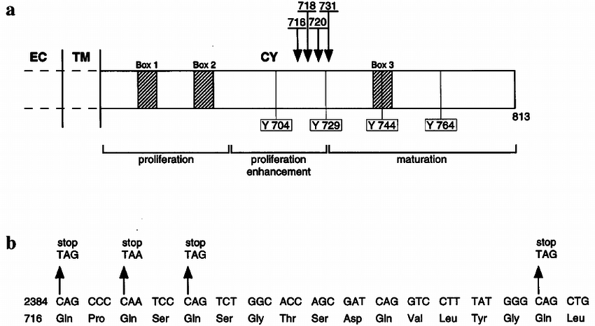 (a) Schematic representation of the cytoplasmic domain of