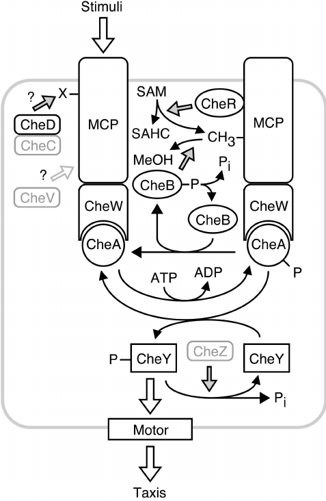 Signaling circuitry controlling bacterial taxis. This sche