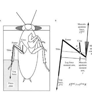 Schematic diagram of leg function during wedging behavior