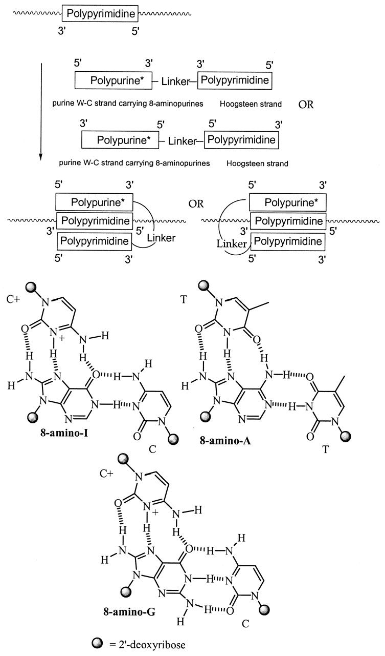 medium resolution of scheme of binding a polypyrimidine single stranded nucleic acid withnucleic acid diagram single strand 17