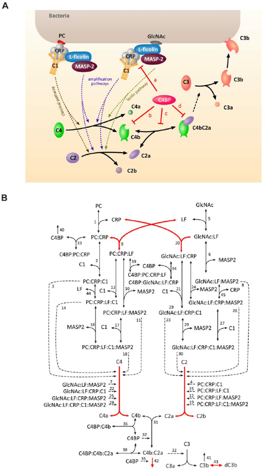 medium resolution of simplified schematic representation of the complement system and reaction network diagram of the mathematical model