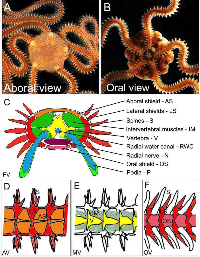 medium resolution of 6 the brittle star amphiura filiformis a aboral view of a filiformis