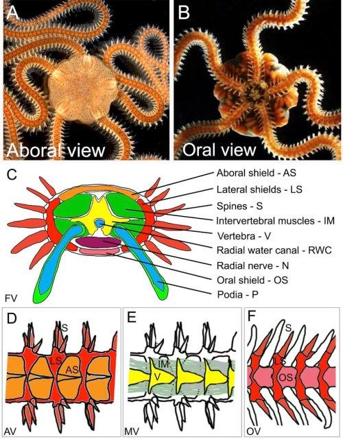 small resolution of 6 the brittle star amphiura filiformis a aboral view of a filiformis