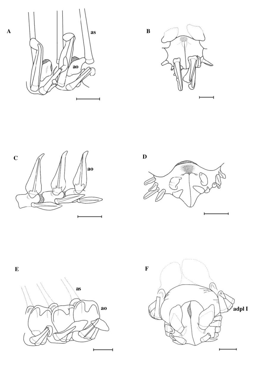 A, B) Hymenaster cf. regalis, St. JC011/106 (2007