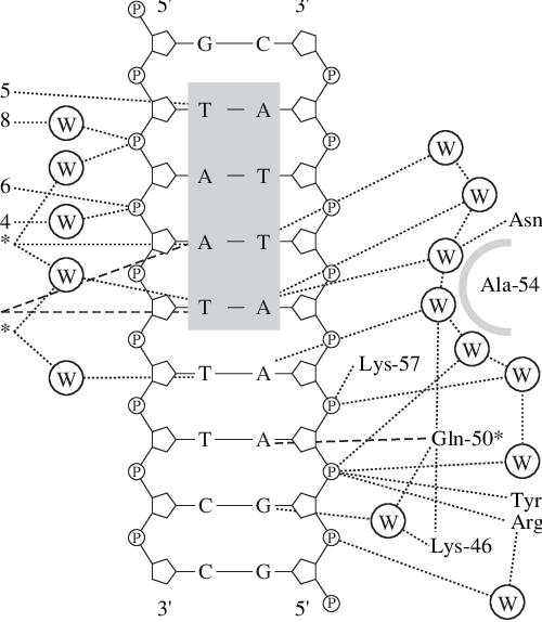 Scheme of contacts between homeodomain En and DNA in