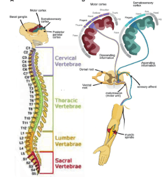 4 schematic of the nervous system adopted from kowalczewski 2009 with a [ 850 x 995 Pixel ]