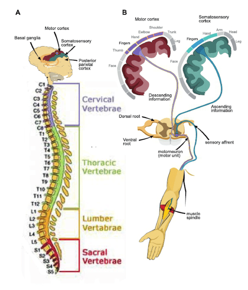 medium resolution of 4 schematic of the nervous system adopted from kowalczewski 2009 with a