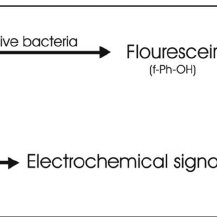 (a) Illustration of the hydrolysis of fluorescein