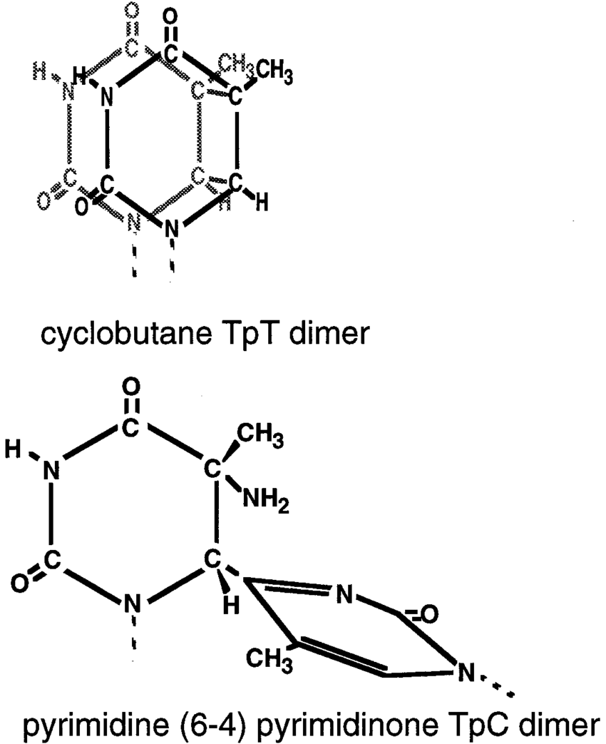 medium resolution of structures of the cis syn cyclobutane thymine dimer a cpd and the tc