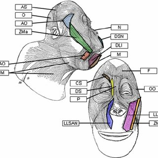 Schematic representations of facial muscles in the