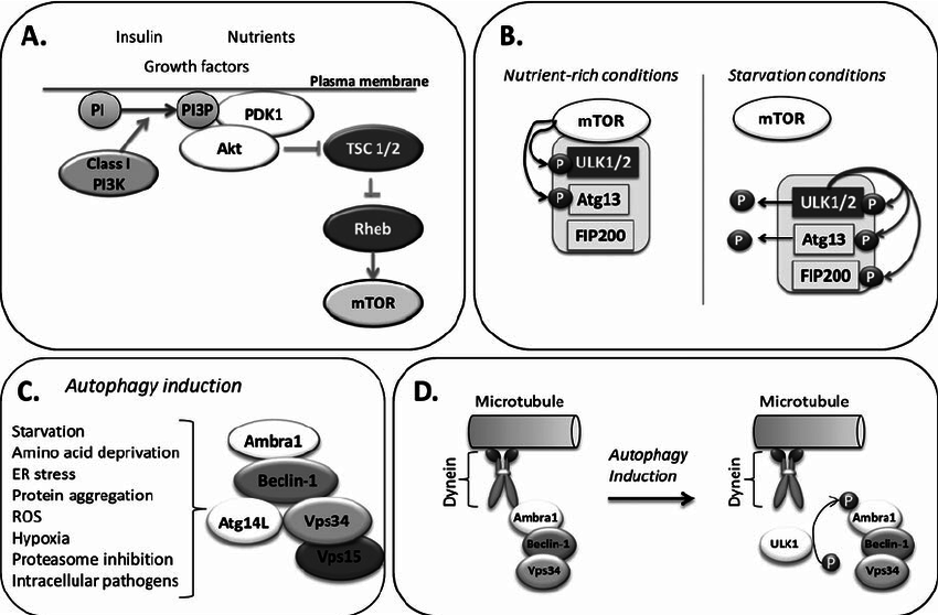 Signaling pathways and complexes regulating autophagy
