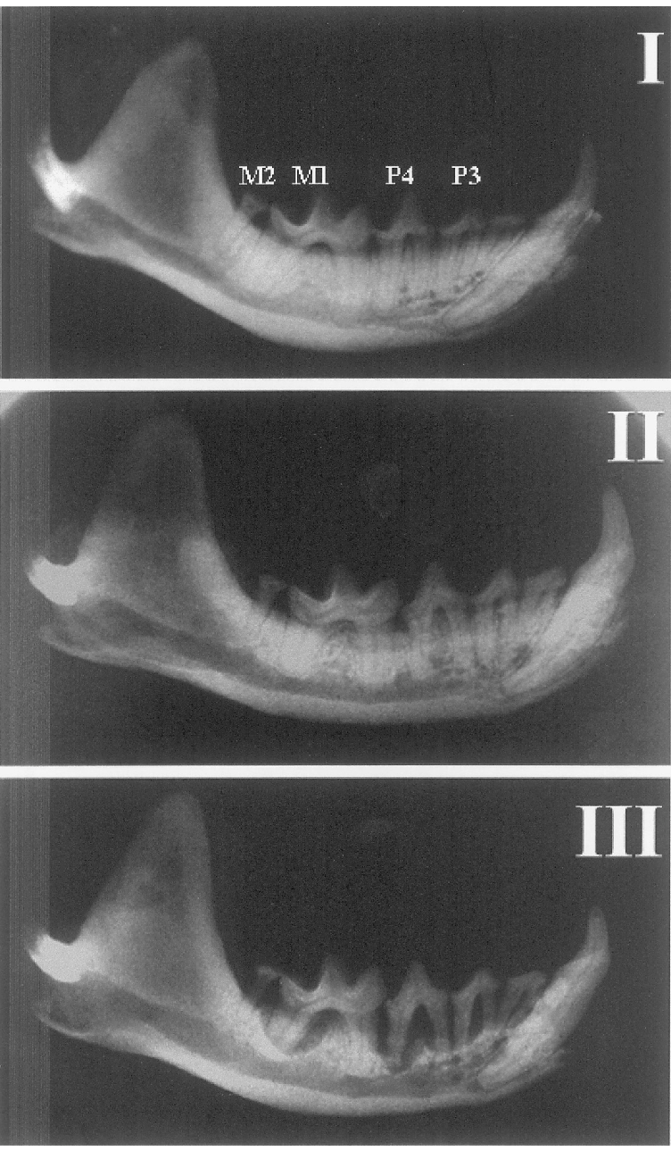medium resolution of radiographic images of the mandible in 3 blue mink obtained from same download scientific diagram