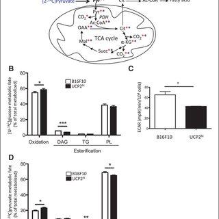 UCP2 promotes a metabolic reprogramming toward substrate
