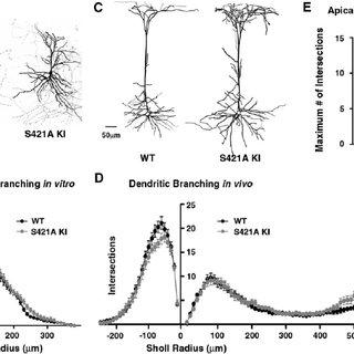 (PDF) Genome-Wide Activity-Dependent MeCP2 Phosphorylation