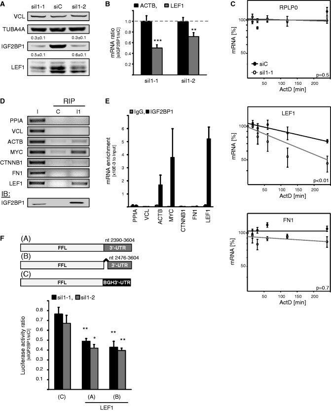 IGF2BP1 promotes LEF1 expression by preventing LEF1 mRNA