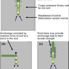 Onion Root Tip Diagram Dcc Layout Wiring Model Train Diagrams Free Engine Image Of Great Installation Schematic Illustrating A Forces Exerted By Penetrating Rh Researchgate Net Cell