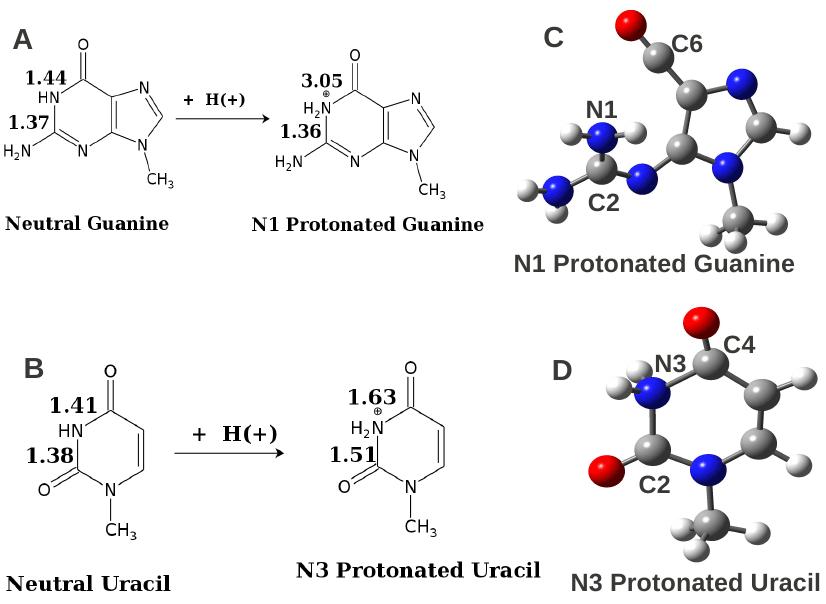 1: Protonation at secondary amino nitrogen atoms: change