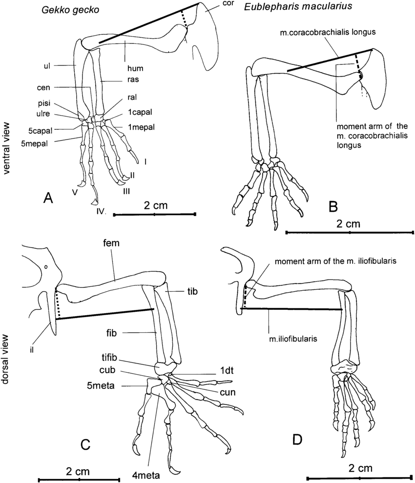 hight resolution of drawing of the skeletal parts exemplifying the determination of the download scientific diagram