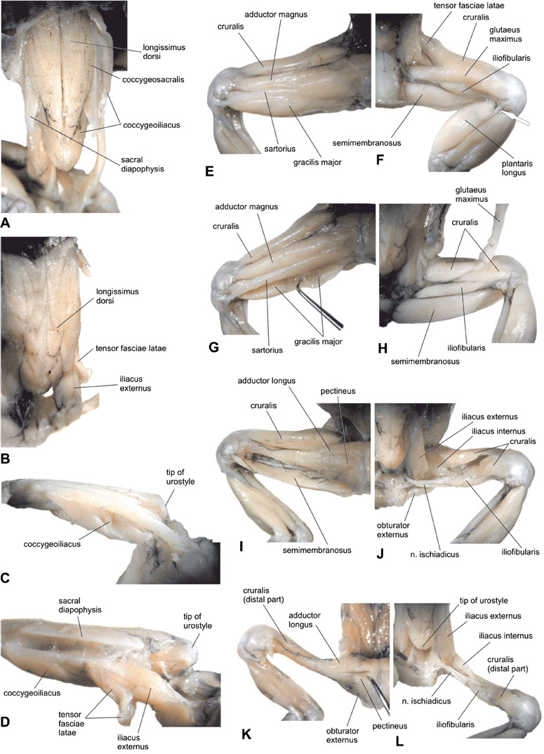 hight resolution of  a semidiagram of some pelvic and thigh muscles
